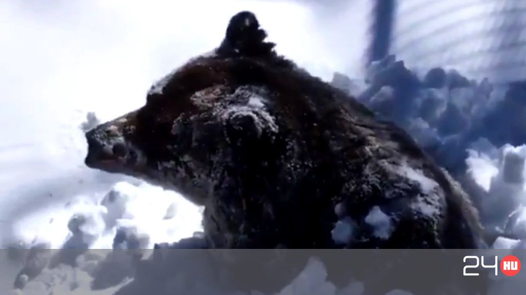 A Canadian bear appeared waking up from its winter sleep from under heavy snow cover