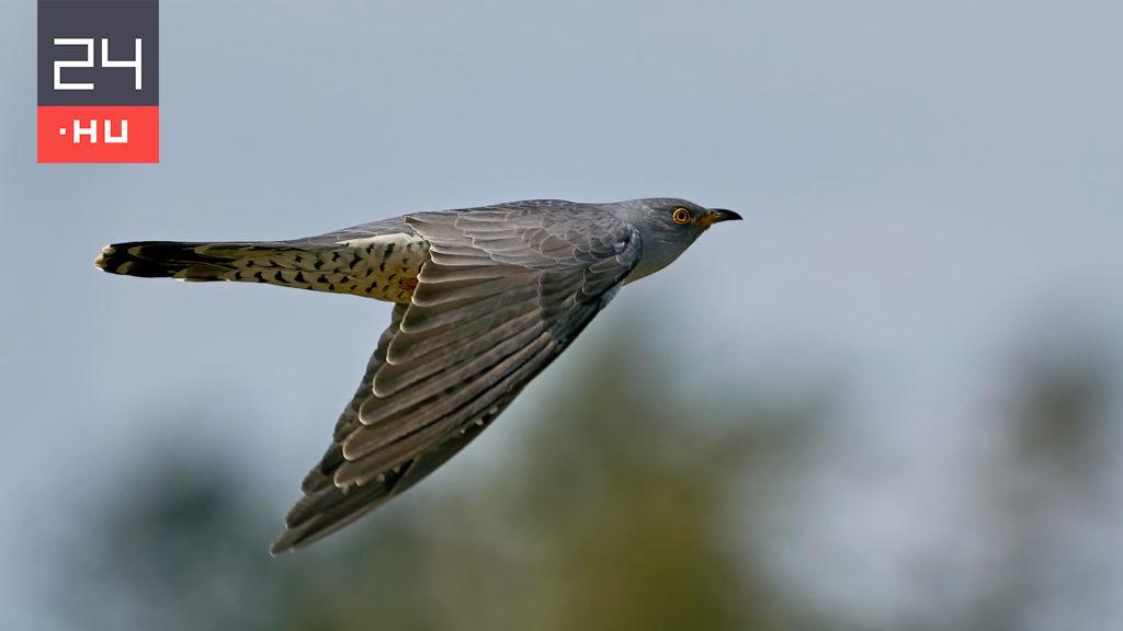 Cuckoo made an amazing journey