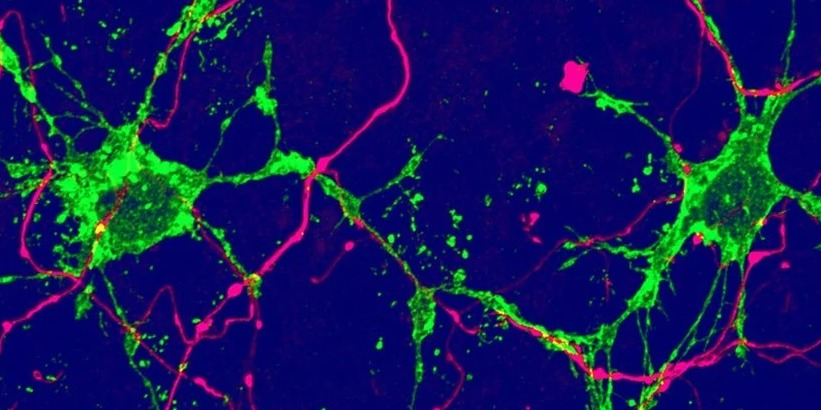 The brain is more regenerative than previously thought