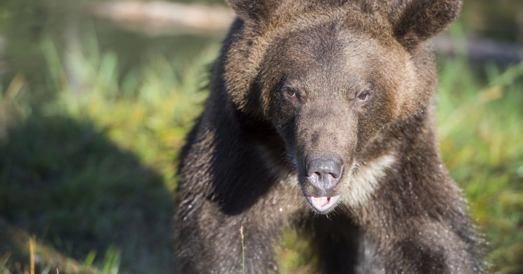 Bibliography - Technology - Science - A beacon was placed on a grizzly mother