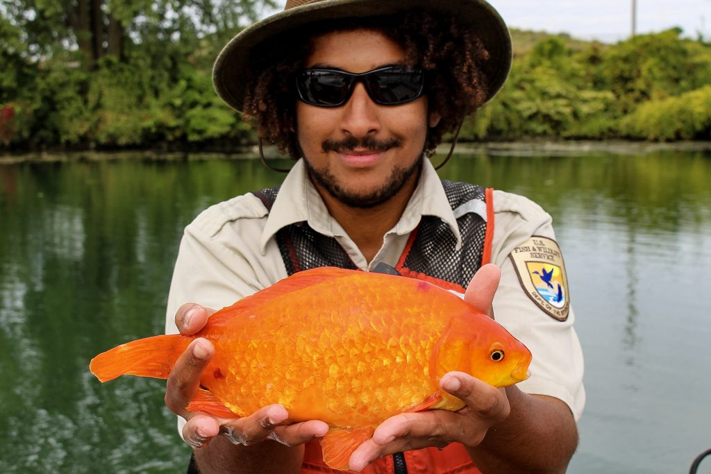 They threw the goldfish back into the lakes, grew up on this giant and started going crazy