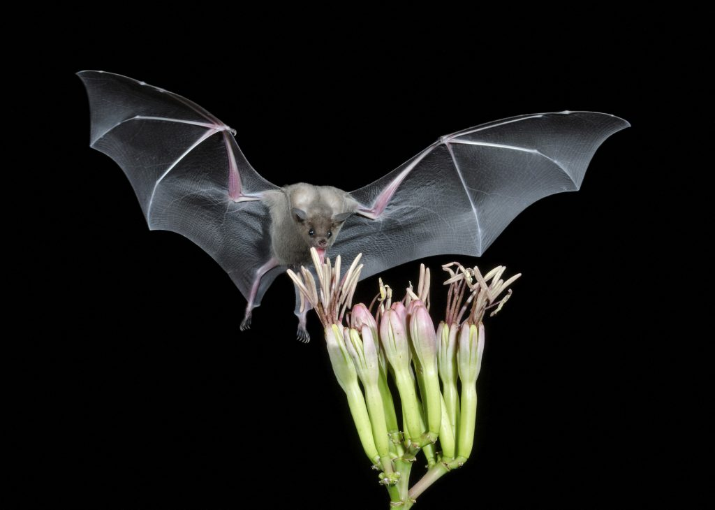 Zigzag bats think about the future