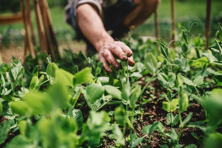 Filléres trükkök nemcsak kezdőknek: így lesz bőséges a termés a legkisebb kertben is