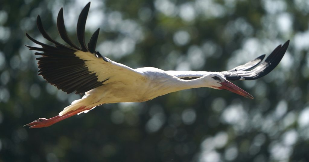 INDEX - Outside - storks confused by Greek forest fires