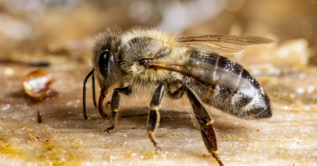 Index - Tech-Science - If the bees are angry, their venom will be better