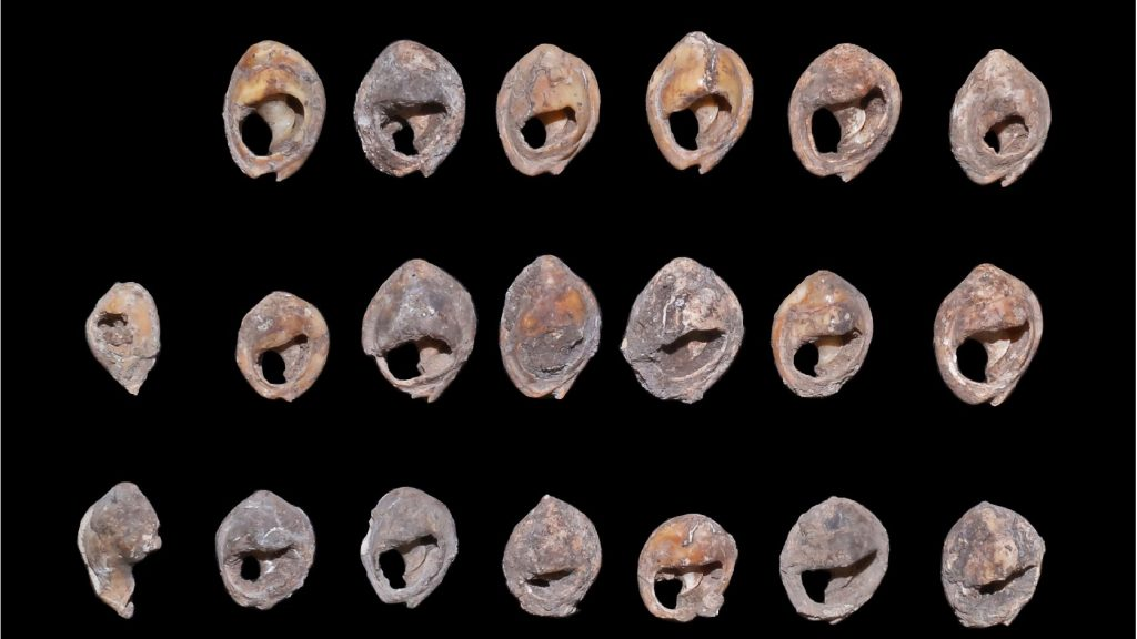 They found the oldest scalloped pearls in the world