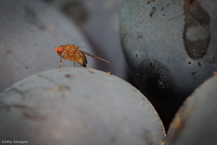 Drosophila suzukii meditating on a vine in a vineyard in Bensheim, Germany in September 2014